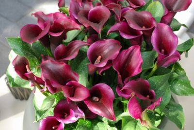 Houseplant of the month: Calla Lily