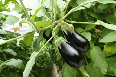 Plant of the Week: Aubergine